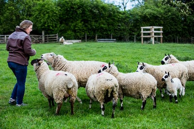Woman feeding Kerry Hill sheep on a farm pasture.