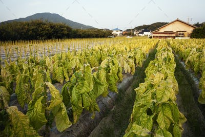 View along rows of fresh leaf vegetables in a field.