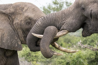 Two elephant, Loxodonta africana, wrap their trunks together and around their tusks as they play