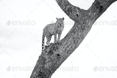 A leopard, Panthera pardus, stands in a tree, looking away, in black and white.