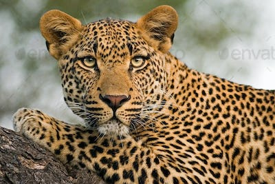 A leopard's head and front leg, Panthera pardus, lying on a tree branch, alert, ears forward