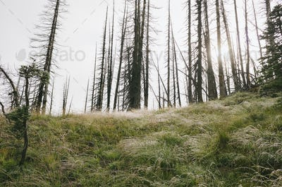 Fire damaged forest and lush alpine meadow in foreground, sun shining through trees, along the