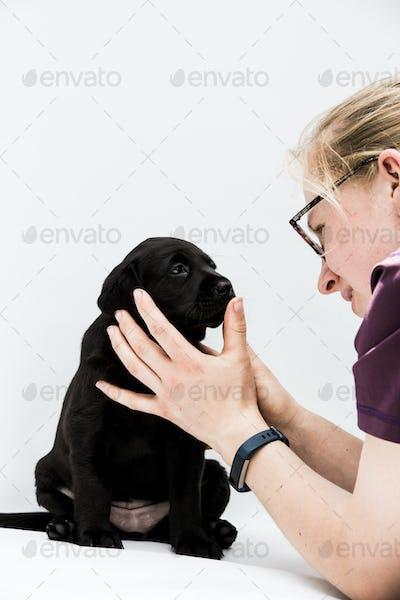 Close up of blond woman examining Black Labrador puppy.