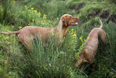 Portrait of two Vizla dogs on a meadow.