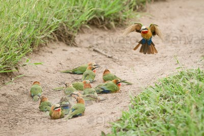 A flock of white-fronted bee-eaters, Merops bullockoides, lie on sand while one flies down, wings up