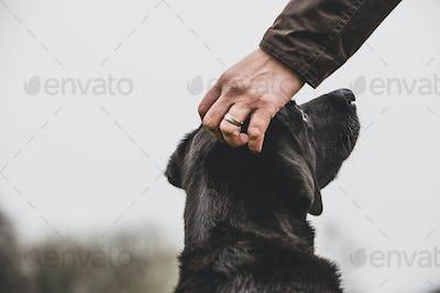 Close up of person stroking Black Labrador dog's head.