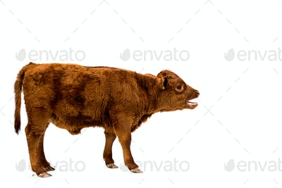 Full length side view of brown calf on white background.