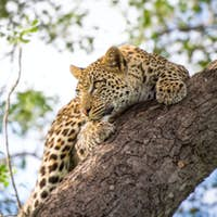 A leopard cub, Panthera pardus, clings onto a vertical marula tree trunk, Sclerocarya birrea, with