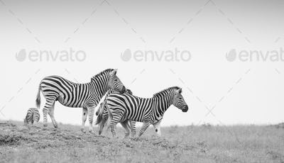 A herd of zebra, Equus quagga, walk down a slope with a clear sky background in black and white
