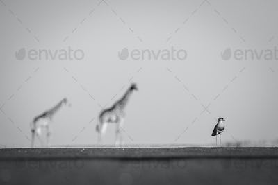 A crowned lapwing, Vanellus coronatus, stands on level ground, two giraffe, Giraffa camelopardalis,