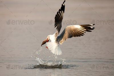 A grey-headed gull, Chroicocephalus cirrocephalus, in mid flight, catches fish, with fish between