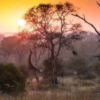 A giraffe, Giraffa camelopardalis, reaches up and eats from a tree, sunset and tree silhouettes in