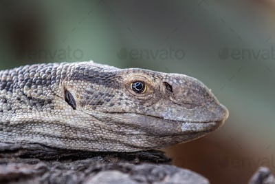 The head of a monitor lizard, Varanus niloticus, side profile