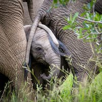 An elephant calf, Loxodonta africana, stands with two elephant's tails drapped over its face, trunk