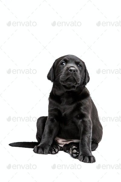 Sitting Black Labrador puppy on white background.
