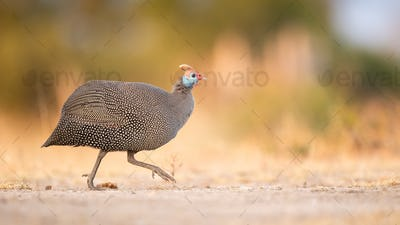 A helmeted guineafowl, Numida meleagris, walks across a road, side profile, looking out of frame,