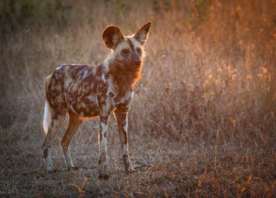 A wild dog, Lycaon pictus, stands in short brown grass at sunset, looking away, backlit