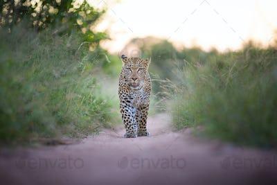 A leopard, Panthera pardus, walks towards the camera on sand road, durect gaze, ears facing
