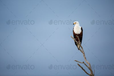 An African fish eagle, Haliaeetus Vocifer, perches on a branch, looking away, against blue sky.