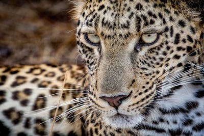 A leopard's face, Panthera pardus, looking away with whiskers and yellow-green eyes.