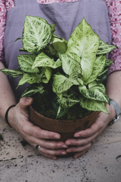 Close up of a person holding terracotta pot with plant with white and green variegated leaves.