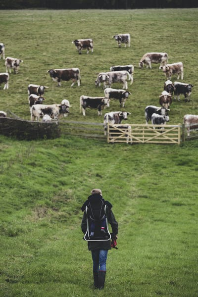 High angle view of man carrying child on his back walking towards a pasture with herd of English