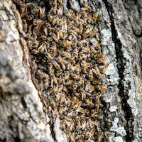 African bees, Apis mellifera capensis, congregate on their hive in the bark of a tree.
