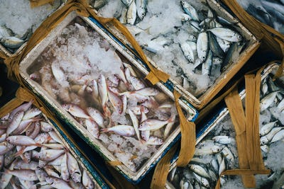 High angle close up of crates with small fish on ice.