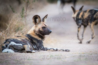 A wild dog, Lycaon pictus, lies on the ground, looking away, bloody face, ears perked