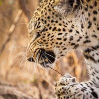 A leopard's head and front paw, Panthera pardus, snarling, stick with thorns in mouth, paw holding