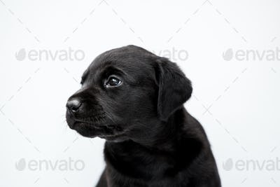 Close up of Black Labrador puppy on white background.