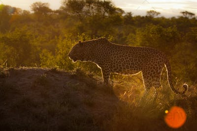 A leopard, Panthera pardus, silhouette, standing on a mound, trees in the background