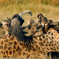 White-backed vultures, Gyps africanus,  stand on a giraffe carcass, Giraffa camelopardalis, open up