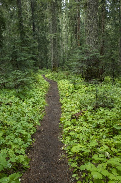 The Pacific Crest Trail extends through, lush and green forest, Gifford Pinchot National Forest,
