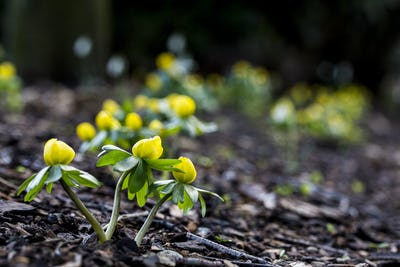 A garden in winter, small yellow aconites flowering in the bark and fallen leaves