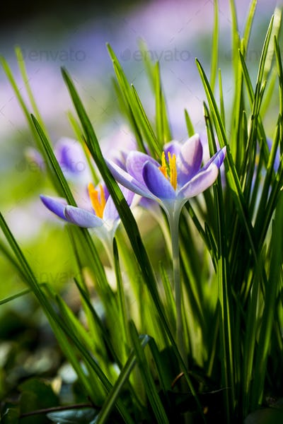 Close up of pale purple crocuses with bright yellow stamens and green grass-like leaves.
