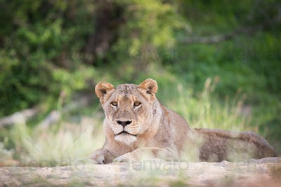 A lioness, Panthera leo, lies on sand, head up, alert, greenery in background