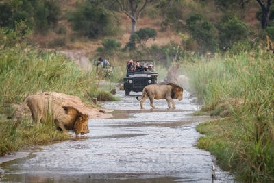 Two male lions, Panthera leo, walk across a shallow river, one crouching drinking water, two game