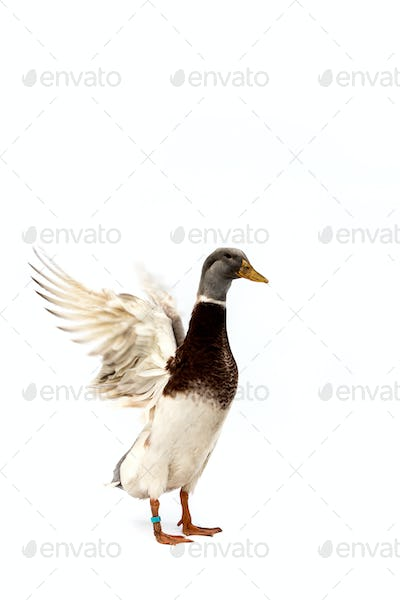 Full length view of white and brown duck with grey head on white background.