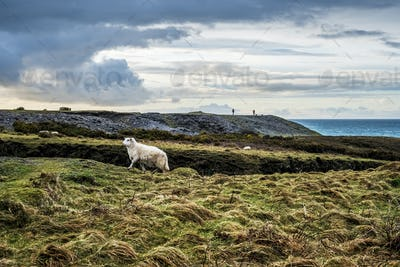 Sheep on clifftop along the coastline of Pembrokeshire National Park, Wales, UK.