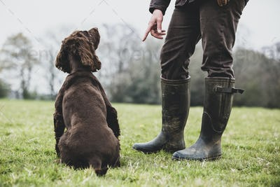 A dog trainer standing outdoors, giving hand command to Brown Spaniel dog.