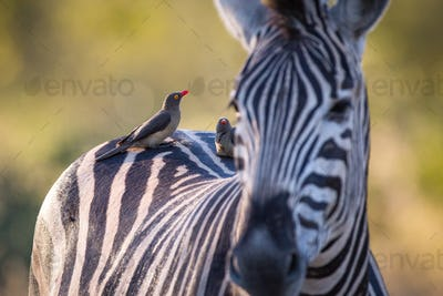 Red-billed oxpeckers, Buphagus erythrorhynchus, stand on the back of a zebra, Equus quagga