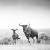 Three blue wildebeest, Connochaetes taurinus, stand in an open clearing, direct gaze, in black and