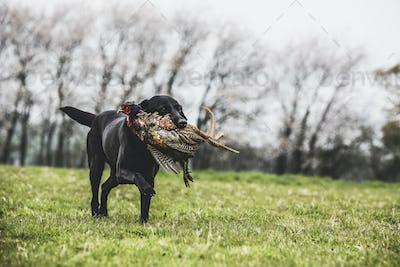 Black Labrador dog running across a field, retrieving pheasant.