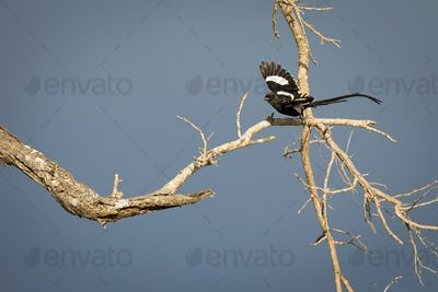 A magpie shrike, Urolestes melanoleucus, taking off a branch in flight, blue sky background