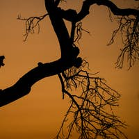 A silhouette of a leopard, Panthera pardus, standing in the fork of a tree, yawning showing teeth,