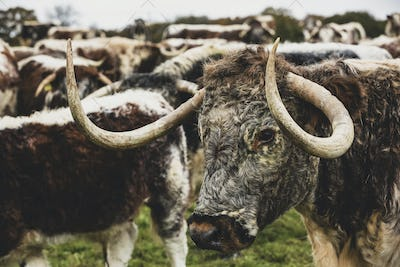 Herd of English Longhorn cows standing on a pasture.