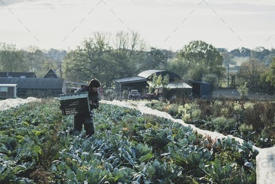 Woman standing in field, carrying plastic crate, harvesting cauliflowers.