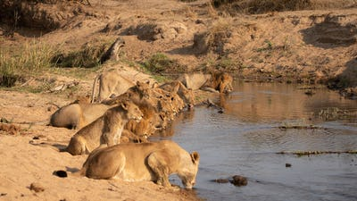 A pride of lions, Panthera leo, crouch down together in a line and drink from a waterhole