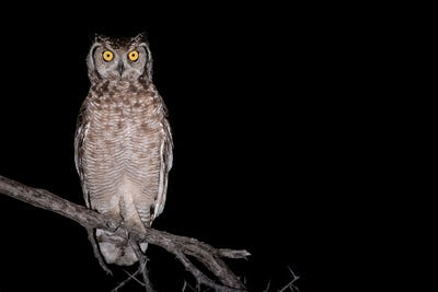 Spotted eagle owl, Bubo africanus, alert, perched on a branch at night.